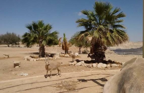 צימר שושנת המדבר - יעלים