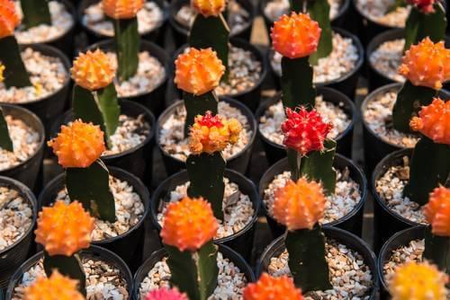 Cactus farm .
